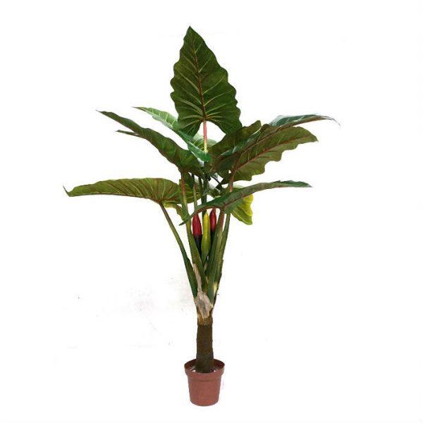 Taro plante H160cm m/plastpotte