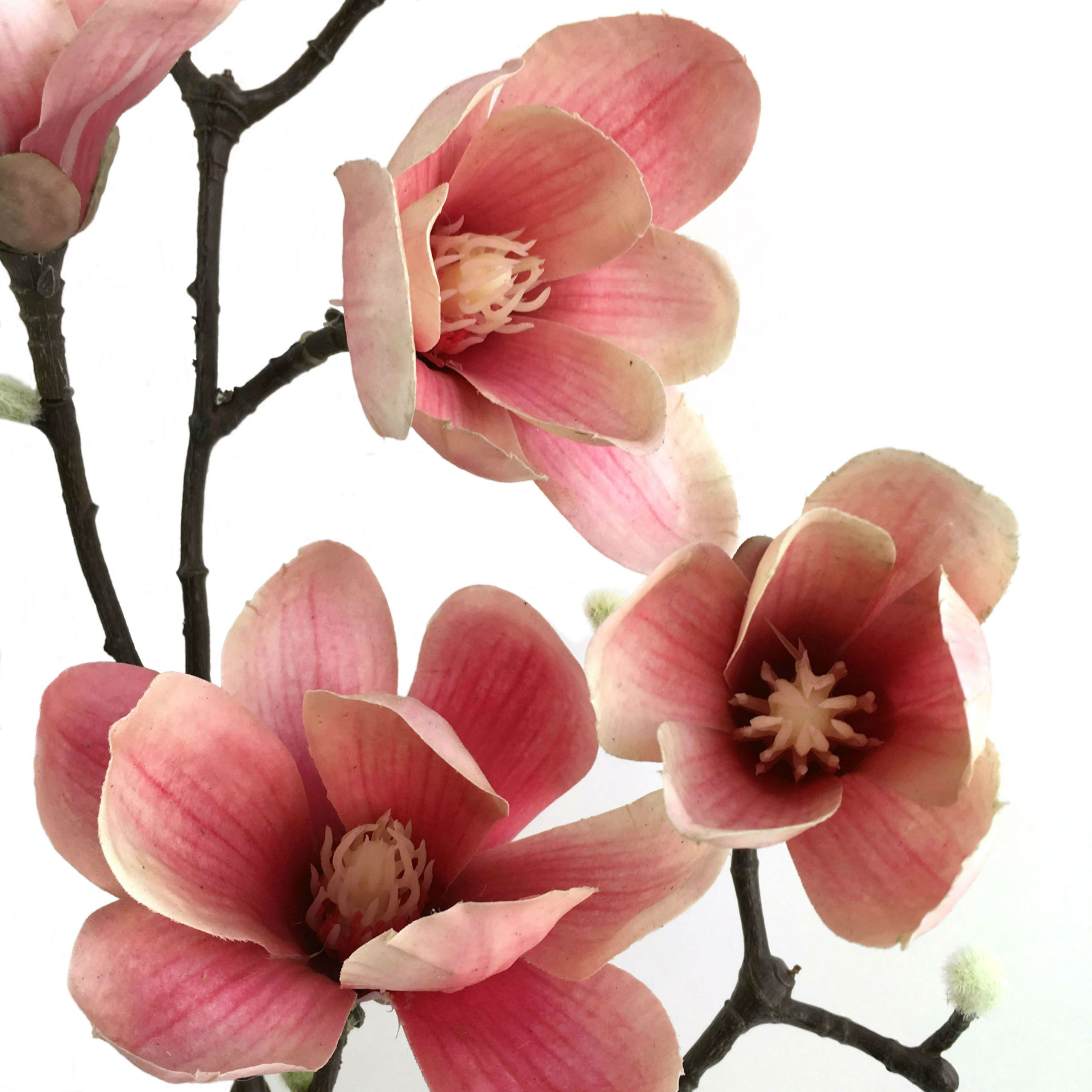 16590_magnoliagren_rosa2NY