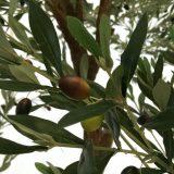 Kunstig oliventre twist UV H260cm