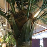 Kunstig palme kokos UV H350cm m/monteringsplate