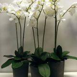 Kunstig orchide phalaenopsis blader m/røtter 30cm