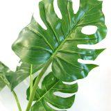 Monstera plante H75cm