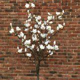 Kunstig magnoliatre hvit H240