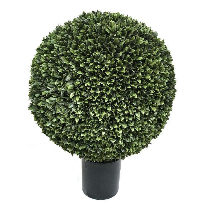 16466_podocarpus60cm