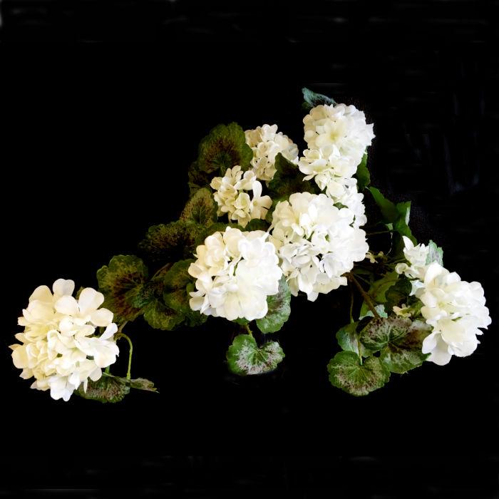 16471_pelargonium1