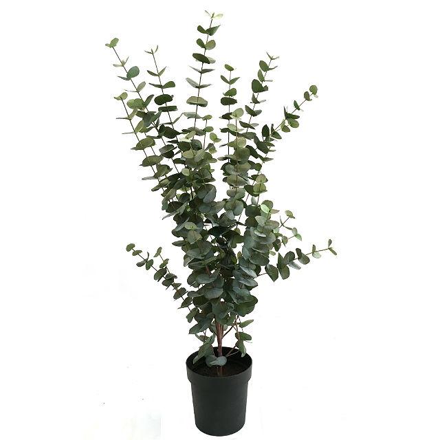 17043_eucalyptusplante111cm1