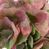 Kunstig hortensia lux psykedelisk støvrosa 90cm